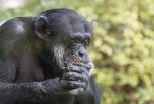 Portrait of a sad chimpanzee sitting on a tree in captivity, thinking about his life